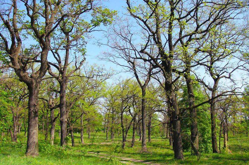 """Многовековые деревья в парке """"Дубки"""""""