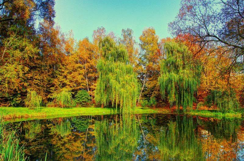 """Ивы у озера в парке """"Дубки"""""""