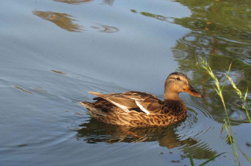 Дикая утка в озере Пущи-Водицы
